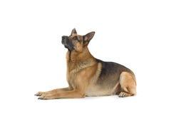 Stillstehender Hund stockbilder