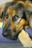 Stillstehender Hund Stockbild