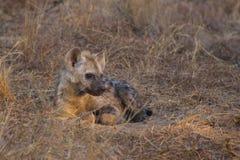 Stillstehender Hyänenwelpe Stockfotografie