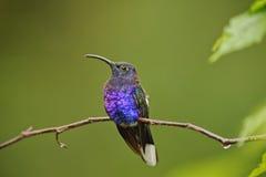 Stillstehender Kolibri Stockfotos