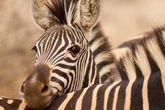 Stillstehender Kopf des Zebras Stockfotografie