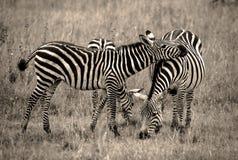 Stillstehender Kopf des Zebras auf Freund im Sepia Lizenzfreies Stockfoto