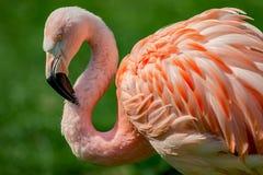 Stillstehender rosiger chilenischer Flamingo am Sonnenuntergangporträt, Nahaufnahme, detai stockbild