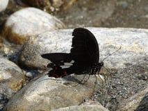 Stillstehender Schmetterling, der einen Halt nimmt Lizenzfreie Stockfotografie