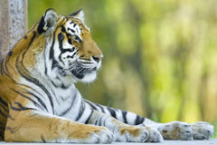 Stillstehender Tiger Lizenzfreie Stockbilder