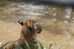 Stillstehender Tiger im Teich Stockfotos