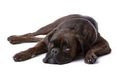 Stillstehender trauriger Boxerhund Lizenzfreies Stockbild