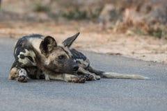Stillstehender wilder Hund Stockbild