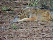 Stillstehender Wolf Stockfotos