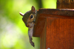 Stillstehendes Eichhörnchen Stockfoto