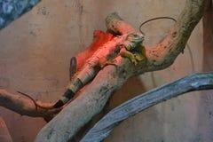 Stillstehendes Foto des Leguans, reptil, Brasilien Stockbild