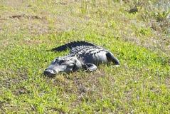 Stillstehendes Gator Stockbilder