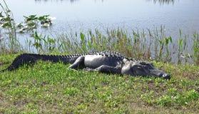 Stillstehendes Gator Lizenzfreies Stockfoto