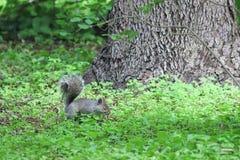 Stillstehendes graues Eichhörnchen unter einem Baum lizenzfreies stockbild