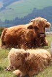 Stillstehendes Hochland-Vieh-Kalb Stockbilder