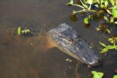 Stillstehendes Krokodil Stockbilder