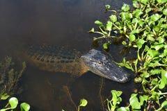 Stillstehendes Krokodil Stockfoto