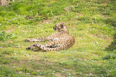 Stillstehendes Lügen des Gepards auf dem Gras, Acinonyx jubatus Lizenzfreie Stockfotografie