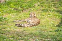 Stillstehendes Lügen des Gepards auf dem Gras, Acinonyx jubatus Stockfotos