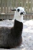 Stillstehendes Lama lizenzfreies stockfoto
