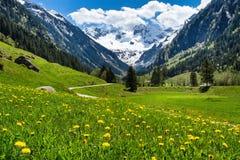 与绿色草甸花的惊人的高山春天夏天风景和多雪的山峰在背景中 奥地利,提洛尔, Stillup谷
