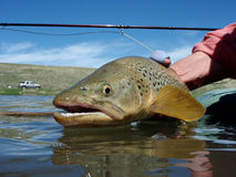 Stillwater Brown Trout Stock Image