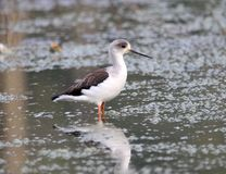 Stilt. Is a common name for several species of birds in the family Recurvirostridae, which also includes those known as avocets. They are found in brackish or royalty free stock photography