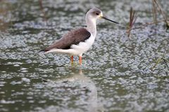 Stilt. Is a common name for several species of birds in the family Recurvirostridae, which also includes those known as avocets. They are found in brackish or stock photography