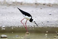 Stilt (Himantopus himantopus) Royalty Free Stock Photos