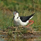 Stilt (Himantopus himantopus) brood Stock Image