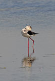 Stilt on the lake. Stilt clean oneself on the lake surface Stock Photos