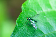 Stilt Legged Flies Royalty Free Stock Images