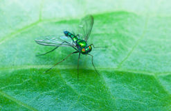 Stilt Legged Flies Royalty Free Stock Photography
