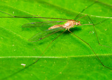 Stilt Legged Flies Royalty Free Stock Photos