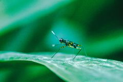 Stilt-Legged Flies on the leaves. Are insects that are small, slender stock image
