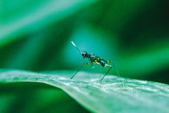 Stilt-Legged Flies on the leaves. Are insects that are small, slender royalty free stock photography