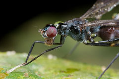 A stilt legged fly covered with dews/raindrops. Stock Photo