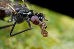 A stilt legged fly covered with dews/raindrops. Stock Photography