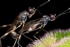 Stilt legged fly mating Royalty Free Stock Image