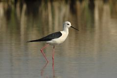 Stilt in a natural pond Royalty Free Stock Images