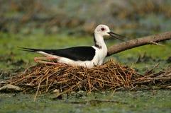 Stilt Nero-Con il collo sul nido Immagine Stock