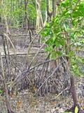 Stilt roots of mangrove trees in Sungei Buloh Wetland Reserve, Singapore Stock Photo