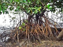Stilt roots of mangrove trees in Sungei Buloh Wetland Reserve, Singapore Stock Image