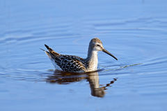 Stilt Sandpiper. Floating in blue water stock photography