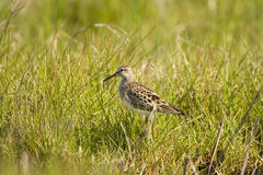 Stilt Sandpiper hunting. A Stilt Sandpiper hunting at the egde of a field Royalty Free Stock Photos