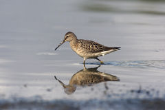 Stilt sandpiper, Micropalama himantopus Royalty Free Stock Photo