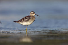 Stilt sandpiper, Micropalama himantopus Royalty Free Stock Photos