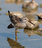 Stilt Sandpiper Stock Photography