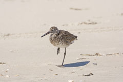 Stilt Sandpiper Sleeping Stock Photography