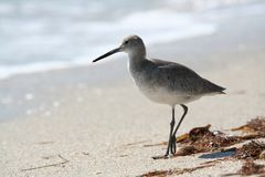Stilt Sandpiper walking Royalty Free Stock Photos